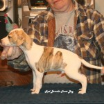 Red Brindle Parti Boy (AVAILABLE)