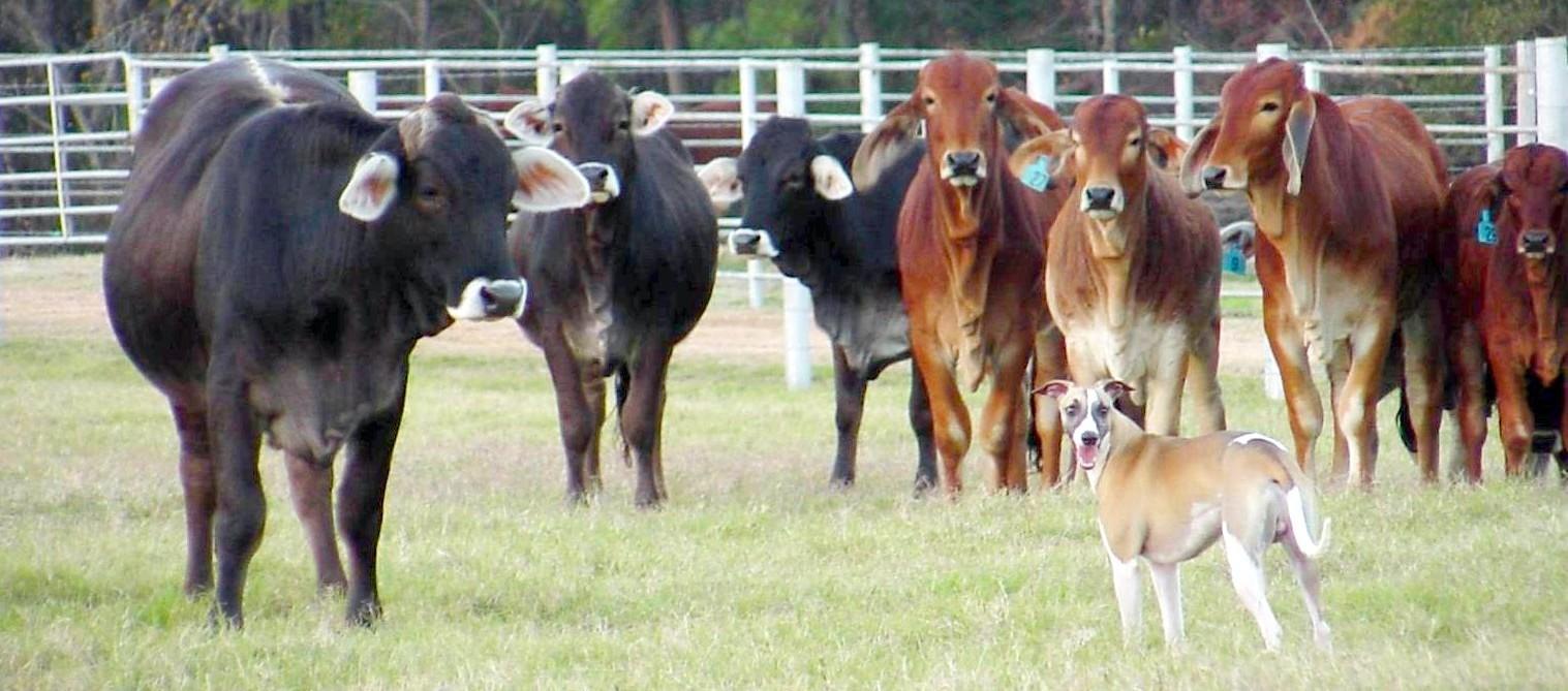 Whisperun Augie...herding whippet, courtesy of Alison Lawrence Spurlin, Owner